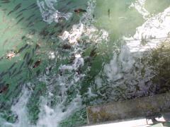 Біопрепарат Понд-плюс для видалення осаду в ставках і акваріумах