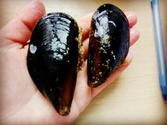 Live black sea mussels Dnepr